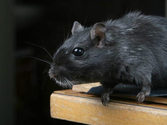 رؤية فأر اسود في المنام